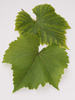 Vine Leaves photo